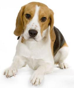 Beagle-Puppy