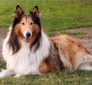 Best-and-Smart-Dog-Breeds-4
