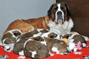 Foundation-Barry-2014-St_Bernard-Puppies-01
