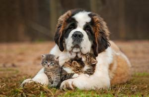 saint_bernard_dog_kitten_puppy_grass