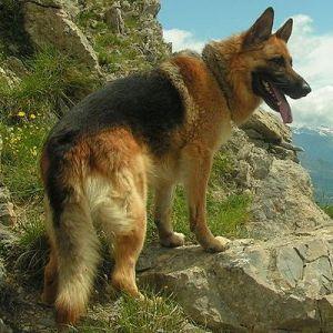 top-10-dangerous-dogs-03