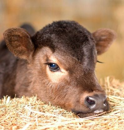 baby-calf-pictures-cute-cows-farm-animals-pics